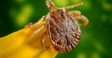 Ticks on Dog, Home Remedies or Pharmaceutical how to prevent tick-borne diseases