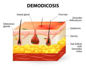demodicosis. demodex mite also known as face mites. demodex folliculorum is a type of skin mite that lives in hair follicles. demodex to cause mange and other skin disease. parasitic mites affecting animals and humans.