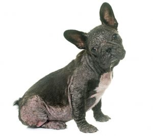 generalized demodicosis, caused by demodex mange