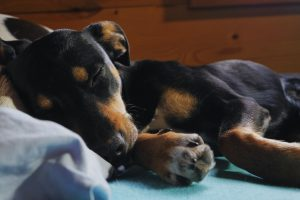 Does my dog have hypoglycemia?