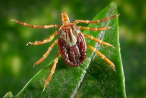 Tick-borne diseases - gulf coast tick female