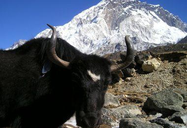 Churpi cheese yak cheese